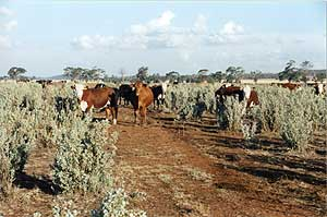 Drought Cattle 2002-03   6/9