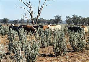 Drought Cattle 2002-03  5/9