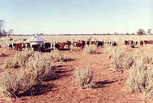Drought Feeding with Grain Supplement