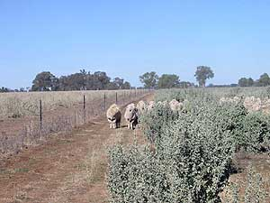 Sheep-in-Bush-2002-Drought