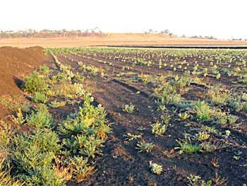 Oldman Saltbush Planted on Saline Land